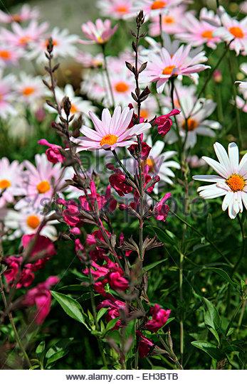 salvia microphylla salvia microphylla stock photos salvia microphylla stock images
