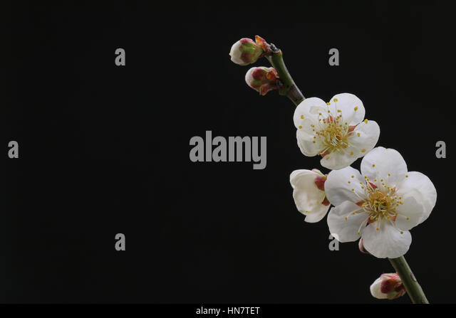 White plum flower gallery flower decoration ideas white plum flower gallery flower decoration ideas white plum flower image collections flower decoration ideas white mightylinksfo