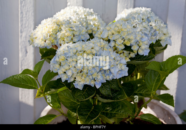 hydrangea macrophylla garden stock photos hydrangea. Black Bedroom Furniture Sets. Home Design Ideas