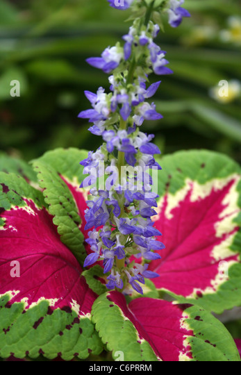 coleus flower stock photos  coleus flower stock images  alamy, Beautiful flower
