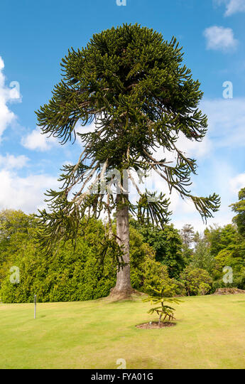 Araucarian stock photos araucarian stock images alamy for Garden trees scotland