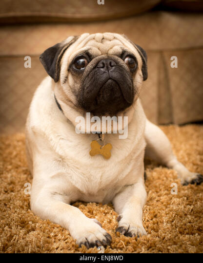 What are the confirmation requirements to show pugs in lay-persons terms?