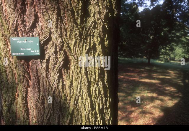 quercus rubra bark stock photos quercus rubra bark stock. Black Bedroom Furniture Sets. Home Design Ideas