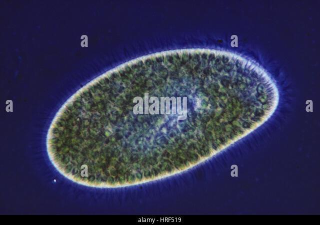 paramecium cell 3d - photo #37