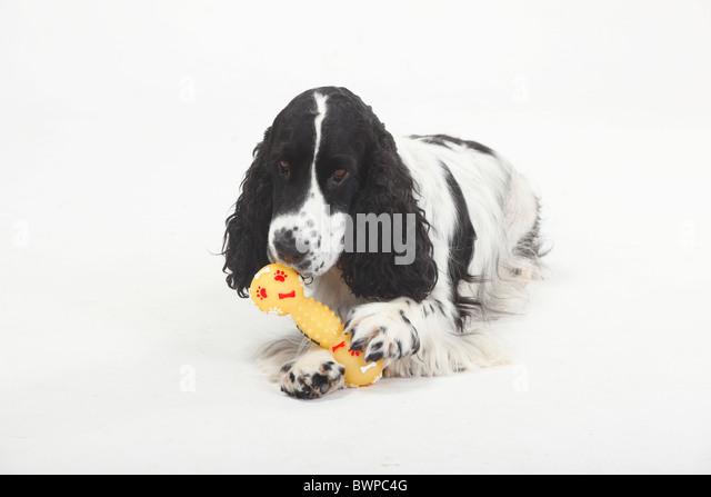 Cape Cod Maltipoo Puppies   Dog Breeds Picture