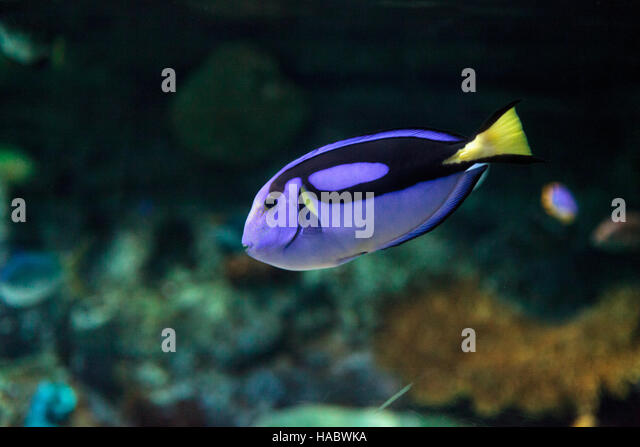 Yellow tailed fish stock photos yellow tailed fish stock for Royal blue tang fish
