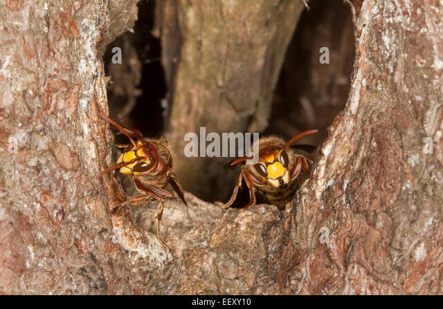 brown european nest hole hornets stock photos amp brown