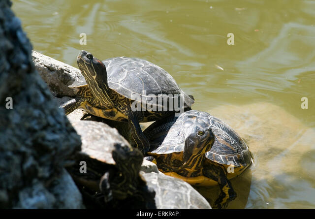 red eared terrapin terrapins basking warming up in the sun cold ...