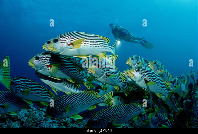 Sweet lips fish stock photos sweet lips fish stock for Dream of fish swimming