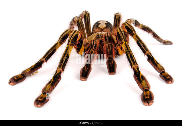 Tarantula Chelicerae