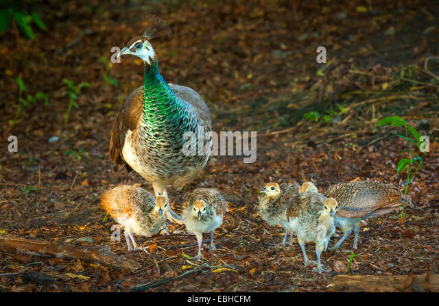 Peahens Stock Photos & Peahens Stock Images - Alamy