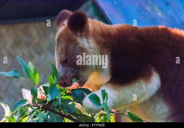 goodfellows tree kangaroo dendrolagus goodfellowi feeds australia western australia