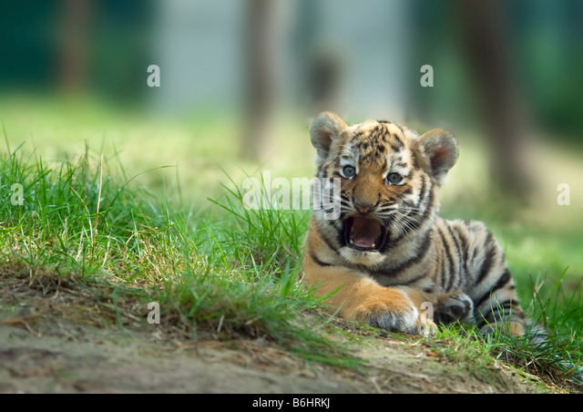 Stalk Baby Stock Photos & Stalk Baby Stock Images - Alamy Cute Siberian Tiger Cubs