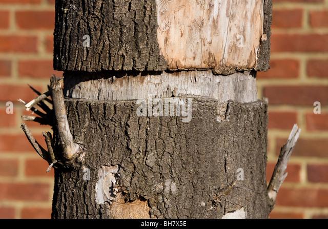 Ringing A Tree To Kill It