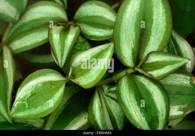 Tradescantia stock photos tradescantia stock images alamy for Tradescantia zebrina