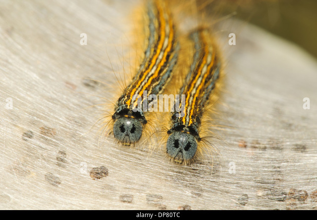 Lackey Moth (Malacosoma neustria) two caterpillars on silken tent St. Davidu0027s & Silken Tent Stock Photos u0026 Silken Tent Stock Images - Alamy