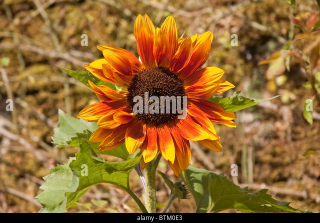 Red Sun Sunflower Stock Photos & Red Sun Sunflower Stock ...