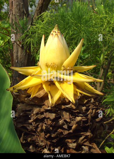golden lotus banane musella lasiocarpa golden lotus banana desc plantwerkz golden lotus banana. Black Bedroom Furniture Sets. Home Design Ideas