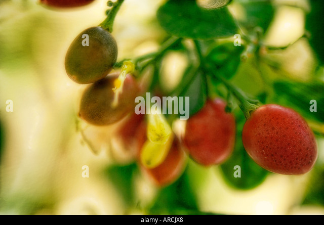 100 Fragrant House Photo Plant Best Fragrant  : murraya fruits arcjx8 from erlangprogramming.org size 640 x 445 jpeg 58kB