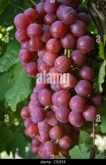 Table grape clusters stock photos table grape clusters for Table grapes