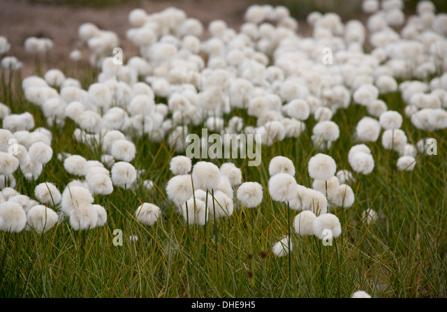 Arctic Cotton Stock Ph...