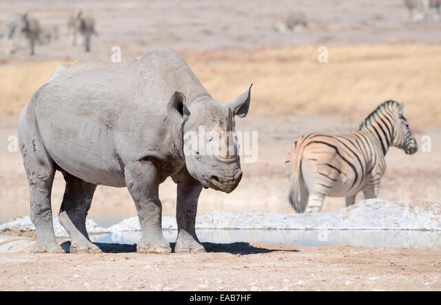 mass of adult male black rhino jpg 1152x768