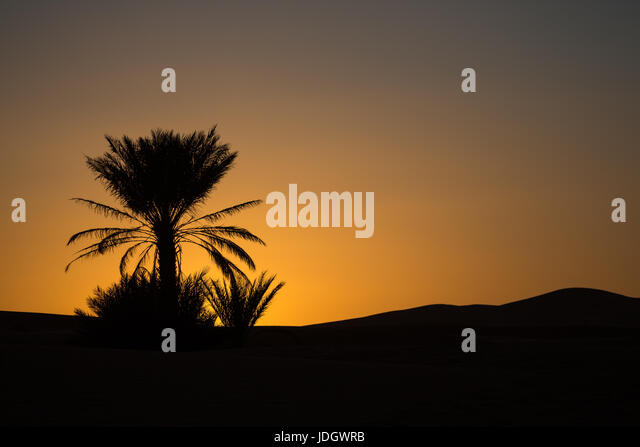 Low orange light shows the setting sun behind the silhouette of a date palm in the desert of Morocco - Stock Image