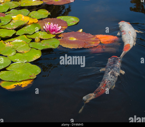 Koi and lily pads stock photos koi and lily pads stock for Koi fish garden