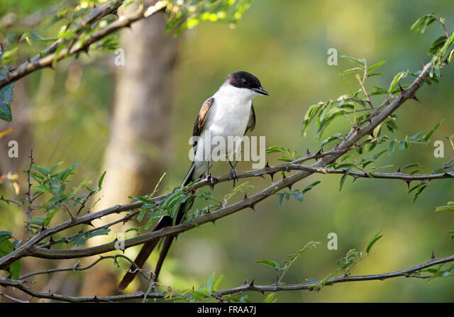 Tyrannus tyrannus stock photos tyrannus tyrannus stock images earwig or the swift buriti on twig savannah tyrannus stock image thecheapjerseys Image collections
