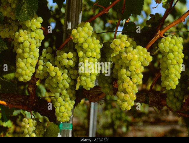 california wine cluster The california wine cluster wine merchants began to survive by making grape juices and medicinal wines most wine grape producers were spotted in north coast, which was discerned to have the state's best combo of soil, atmosphere, geology, and water for wine grapes.