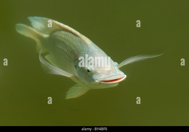 Tilapia stock photos tilapia stock images alamy for Tilapia swimming