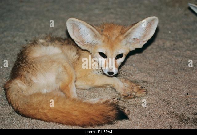 Fennek stock photos fennek stock images alamy - Pagina da colorare fennec fox ...