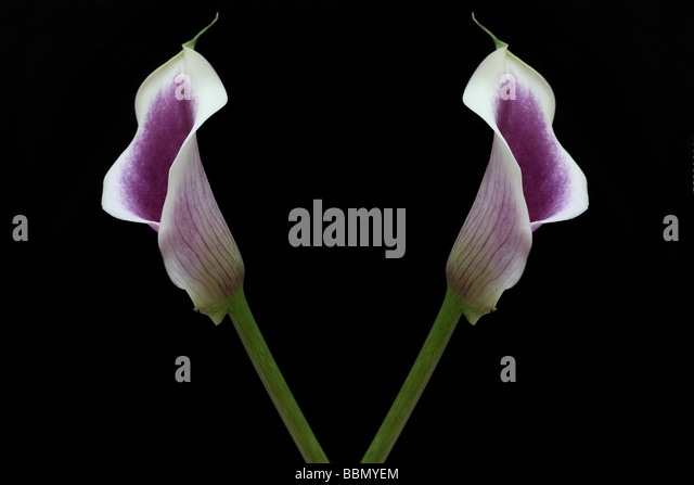 two calla lillies stock photos  two calla lillies stock images, Beautiful flower