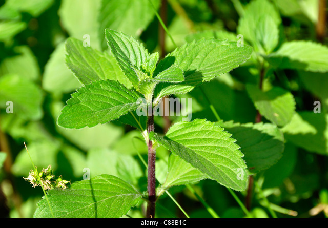 mentha piperita stock photos mentha piperita stock images alamy. Black Bedroom Furniture Sets. Home Design Ideas