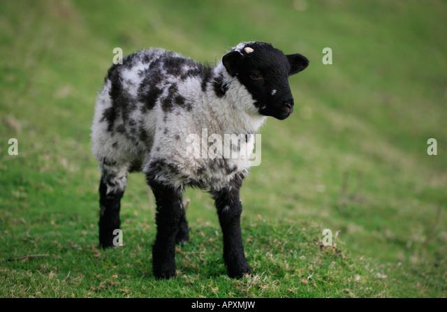scottish blackface lamb sheep connemara stock photos