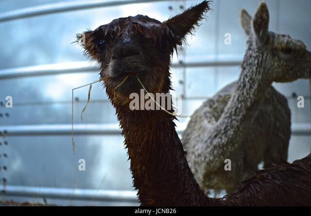 Wet alpaca with grass in his mouth - Stock Image