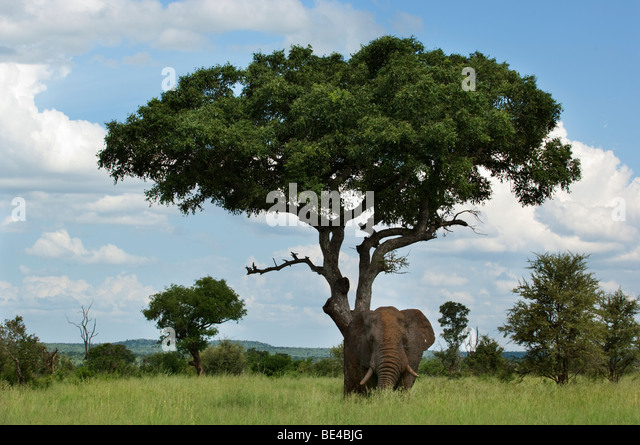 marula tree stock photos marula tree stock images alamy. Black Bedroom Furniture Sets. Home Design Ideas