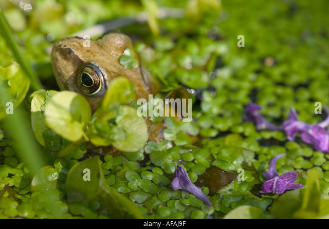 Forg stock photos forg stock images alamy for Garden pool duckweed