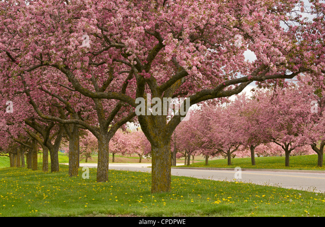 crab apple trees stock photos crab apple trees stock. Black Bedroom Furniture Sets. Home Design Ideas