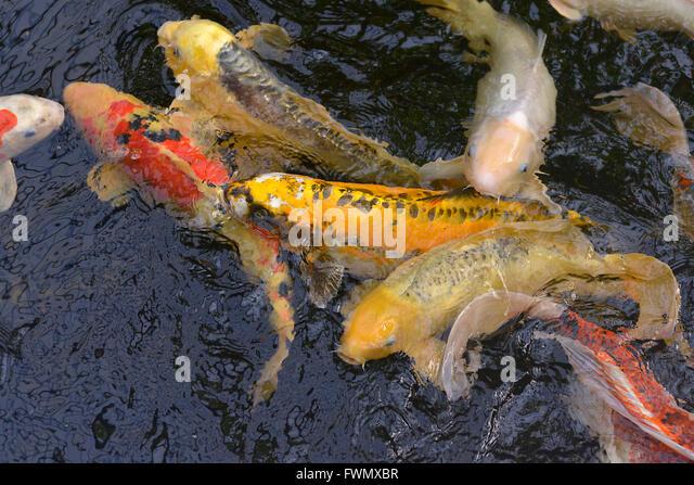 Carp breeding stock photos carp breeding stock images for Koi carp breeding