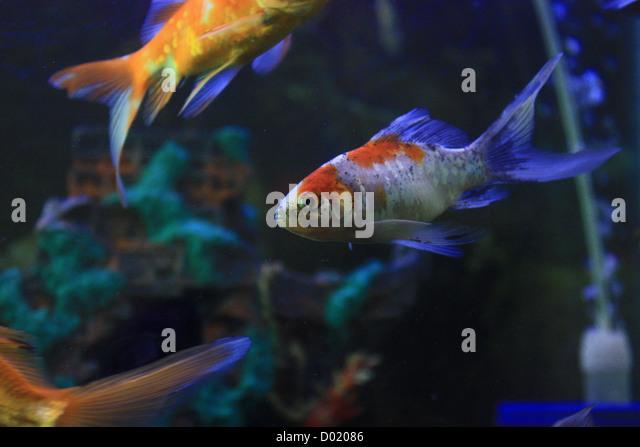 Buy aquarium fishes stock photos buy aquarium fishes for Saltwater aquarium fish for sale