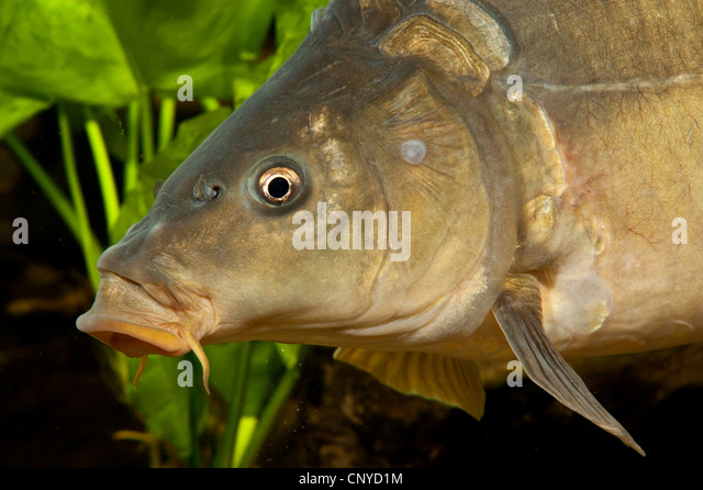 how to catch european carp