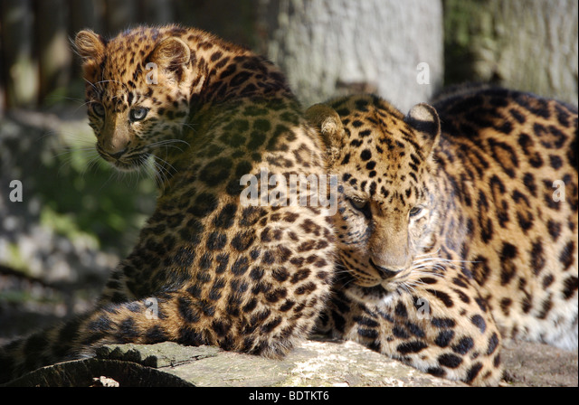 Amur Leopard Cub Stock Photos & Amur Leopard Cub Stock ...