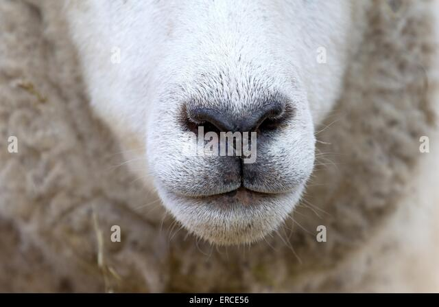 Sheep noses stock photos sheep noses stock images alamy sheep mouth sciox Images