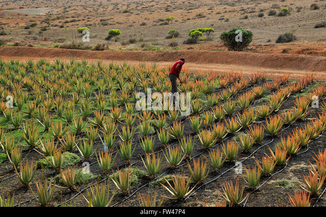 aloe vera plant growing not white stock photos aloe vera plant growing not white stock images. Black Bedroom Furniture Sets. Home Design Ideas