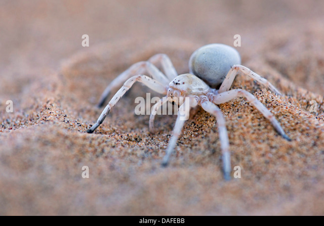 White Lady Spider Stock Photos & White Lady Spider Stock Images ...