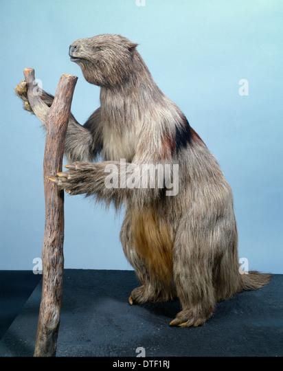 megatherium giant ground sloth stock image