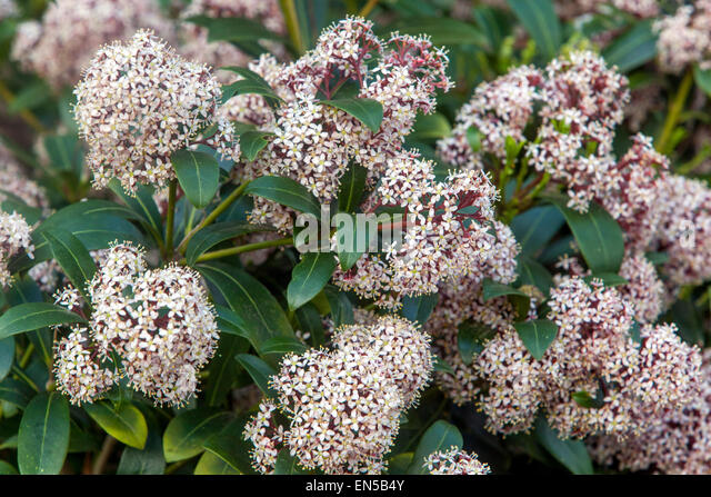 skimmia japonica rubella shrub stock photos skimmia. Black Bedroom Furniture Sets. Home Design Ideas