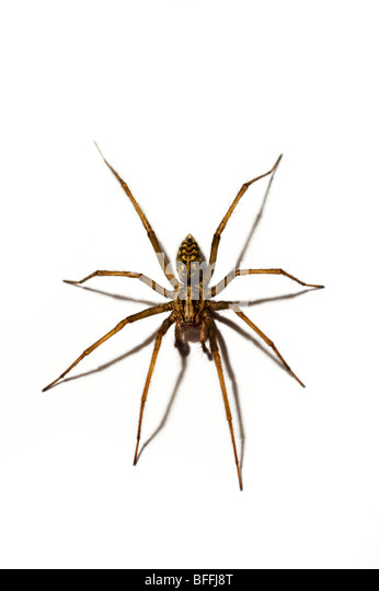 Common house spider images