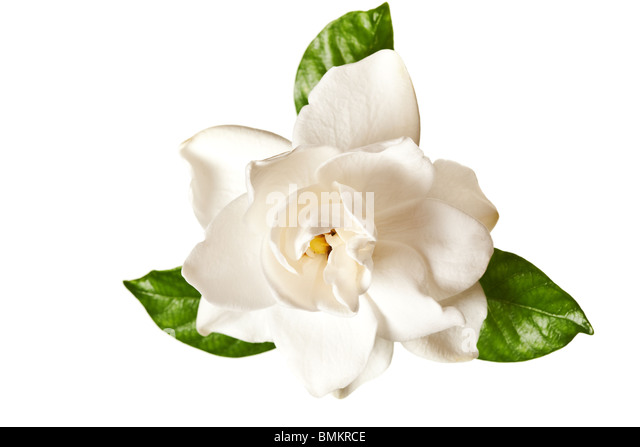 gardenia flowers stock photos  gardenia flowers stock images  alamy, Natural flower